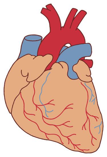 虚血性心筋症には冠動脈(図の赤い線)の病気が関与しています