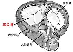 三尖弁の位置と構造