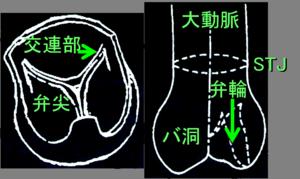 図 ルート解剖