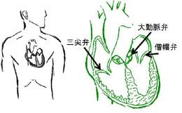 大動脈弁は心臓の出口にある重要な弁です
